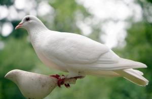 거룩, 비둘기 pixbay