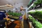 재배한 대마초를 옮기고 있는 대마초 판매점 직원