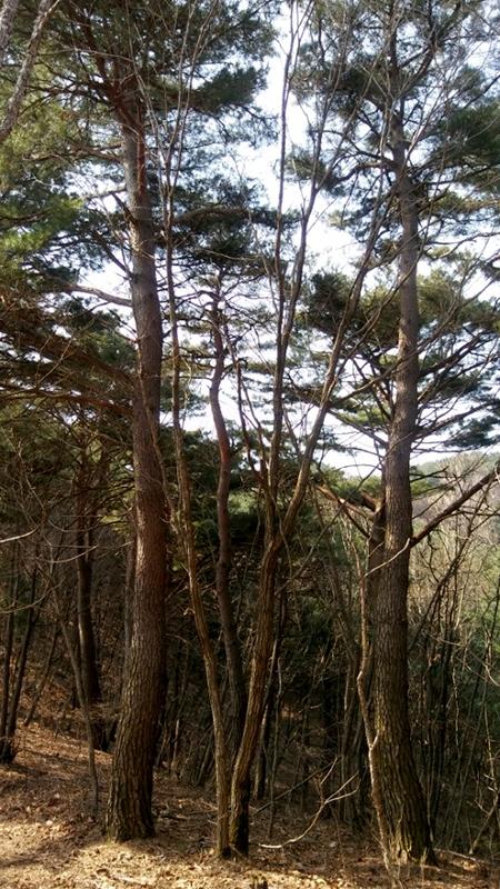 적송(赤松‧Red pine) 군락지