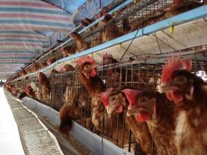 2003년 아시아에서 발생한 조류독감 A (H5N1) 바이러스가 아시아와 유럽의 가금류 및 야생 조류들을 감염시키고 있는 것이다.