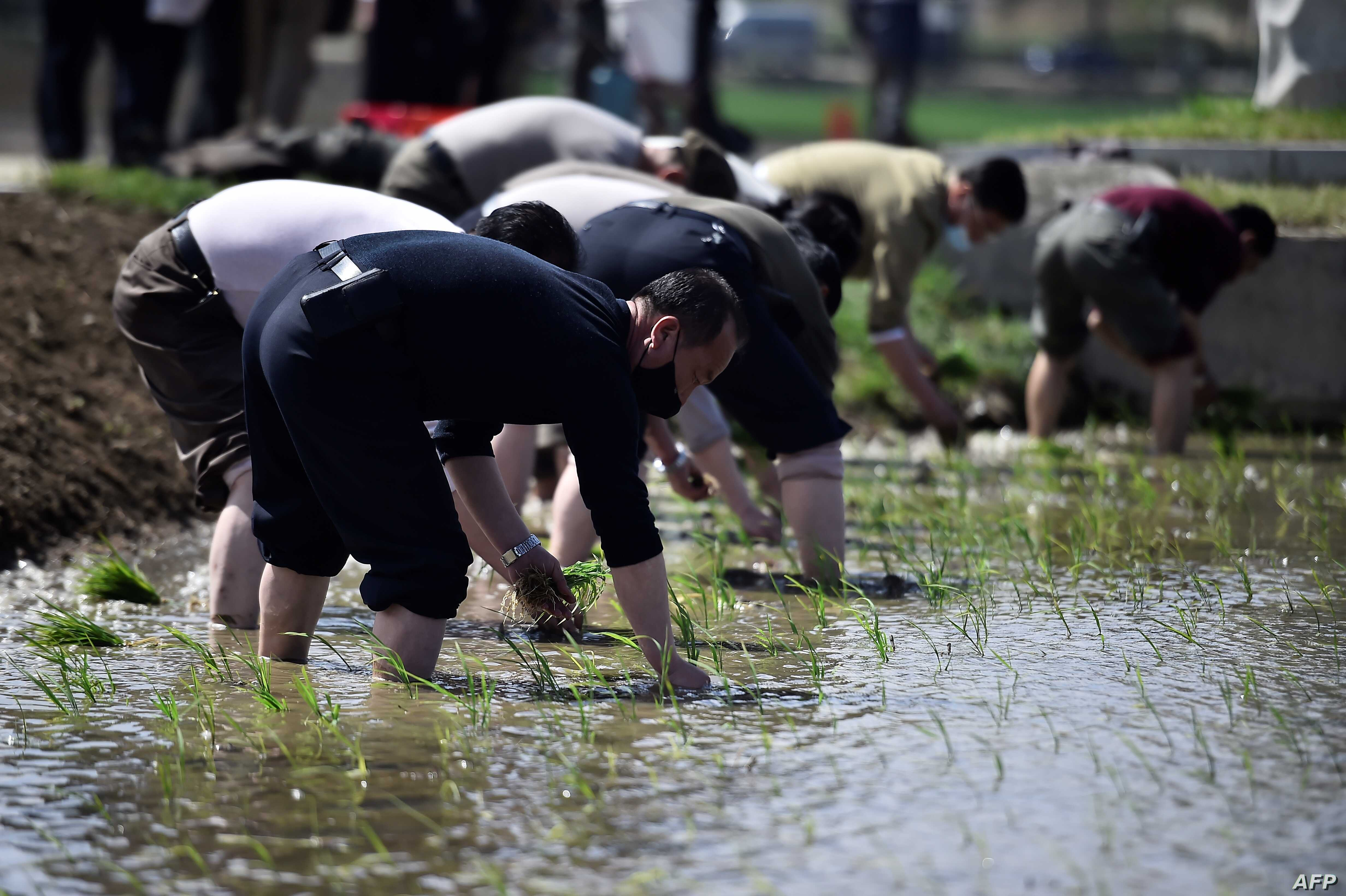 북한 남포 깅서구역 청산협동농장에서 주민들이 모내기를 하는 모습