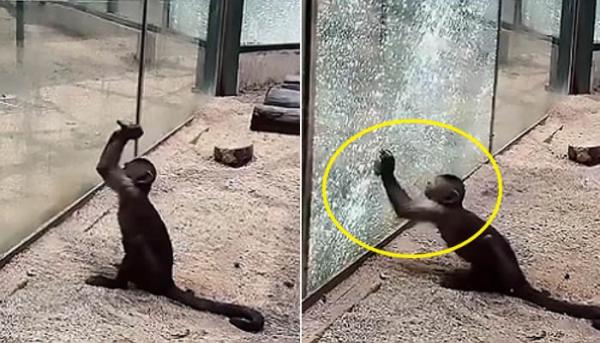 유리벽을 내리친 원숭이