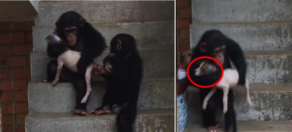강아지 돌보는 침팬지