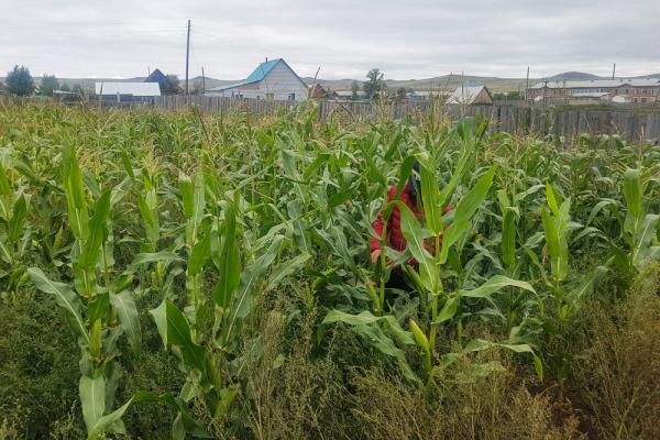 러시아 울란우데 시 신품종 옥수수 육종 농장