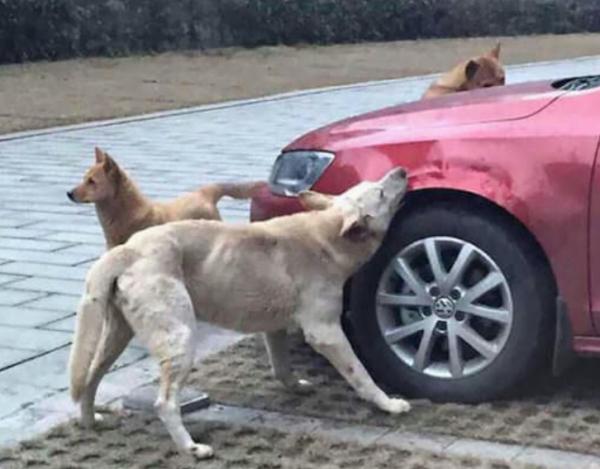 차주에게 복수하는 강아지