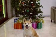 이게 다 내 선물이개? 크리스마스 트리 앞에서 활짝 웃는 댕댕이