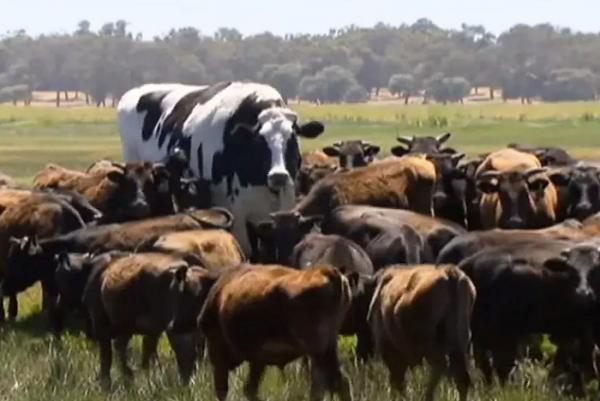 거대한 젖소