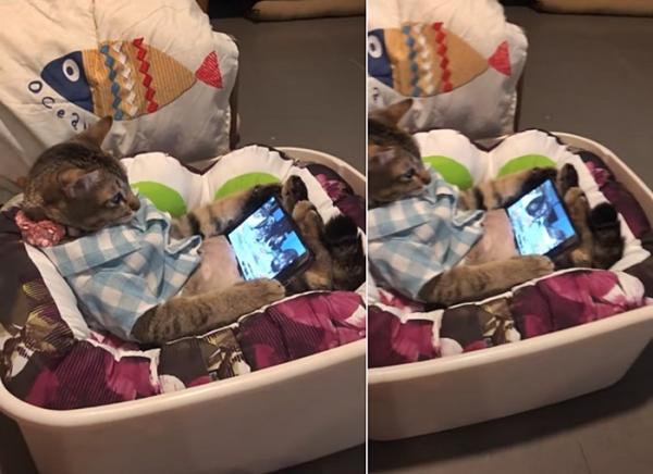 스마트폰 중독된 고양이
