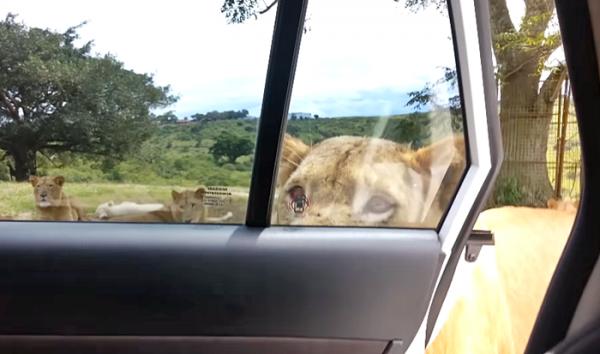 사파리투어 사자