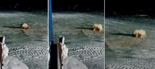폭탄 먹고 괴로워하는 북극곰