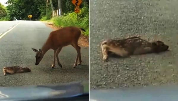 자동차를 보고 겁 먹고 주저앉은 새끼 사슴