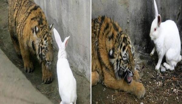 굶주린 새끼 호랑이 우리에 들어간 토끼