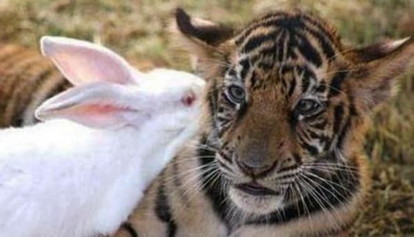 절친이 된 호랑이와 토끼