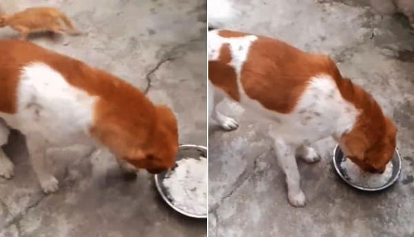 빈 밥그릇을 핥고 있는 강아지