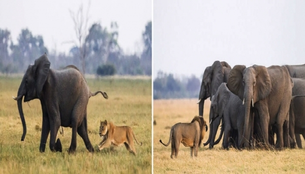 암사자 떼의 사냥 표적이 된 새끼 코끼리