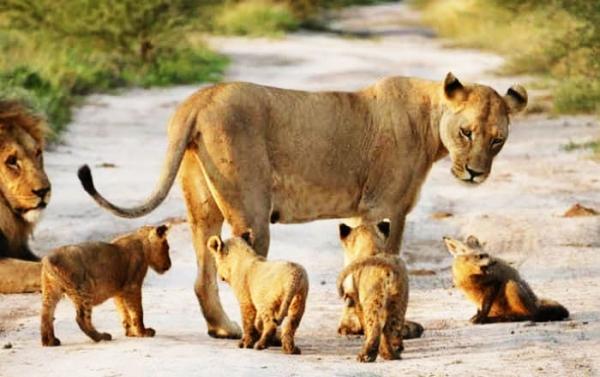 어미 잃은 새끼 여우를 보호하는 암사자