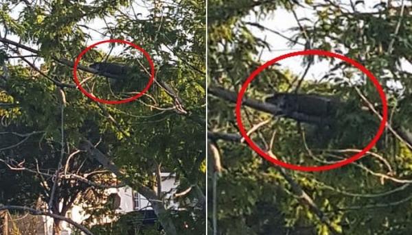 나무 위에 올라간 악어