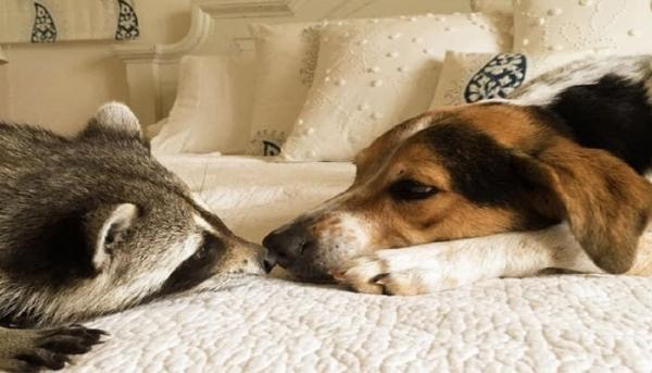 새끼라쿤과 강아지