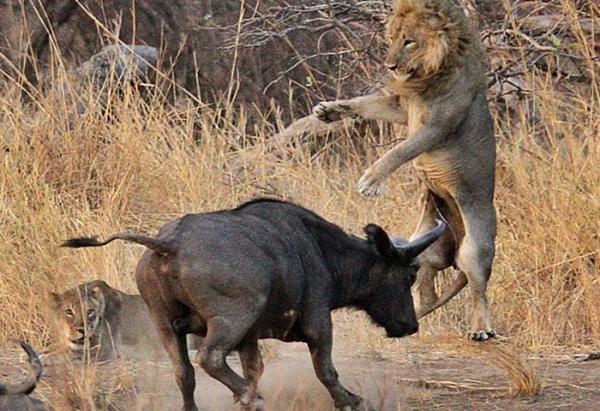 버팔로와 사자