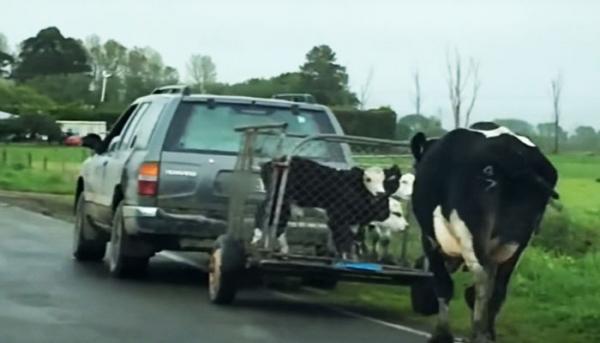 어미 젖소가 새끼를 태운 트럭을 뒤쫓고 있다.