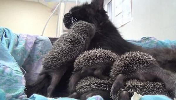어미 잃은 8마리 새끼 고슴도치와 고양이