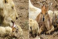 새끼 사슴을 돌보는 암사자
