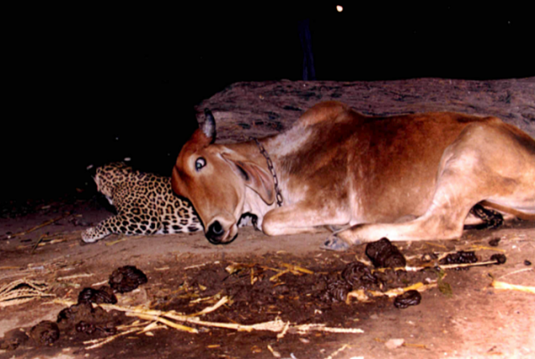 표범과 암소