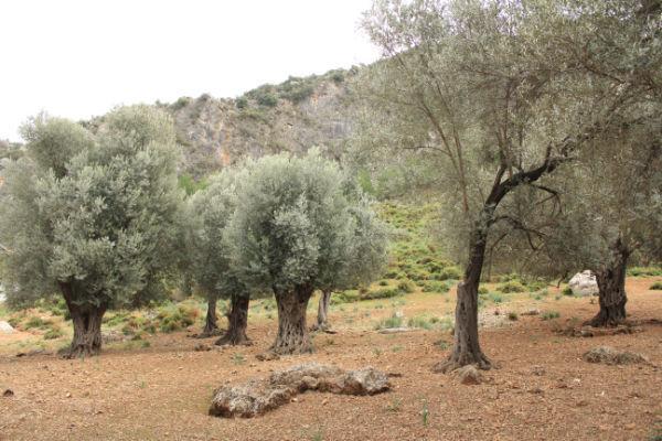 비옥한 터키 소아시아의 (석류, 올리브, 무화과, 오렌지) 농장 풍경