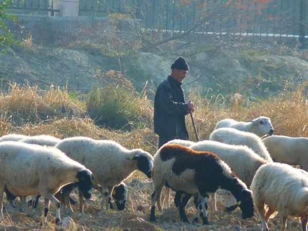 양떼 양치기 목자